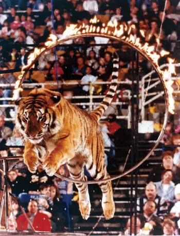 circus tiger